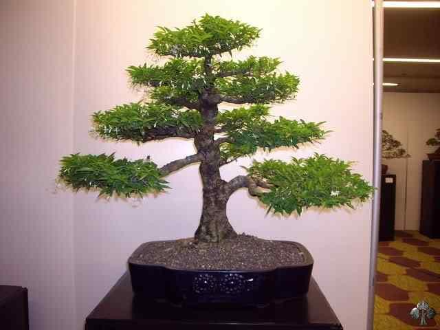 imgp6112 resize 20110317 1956705533 Bonsai: A arte de criar árvores em miniatura