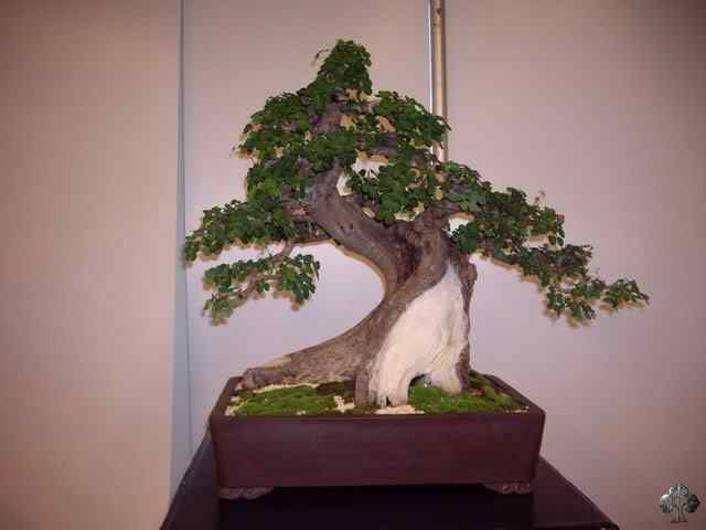 imgp6126 resize 20110317 1219676485 Bonsai: A arte de criar árvores em miniatura