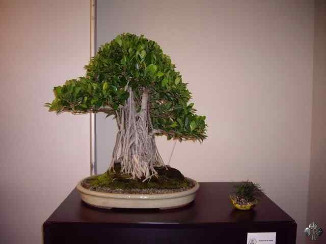 imgp6133 resize 20110317 1709419348 Bonsai: A arte de criar árvores em miniatura