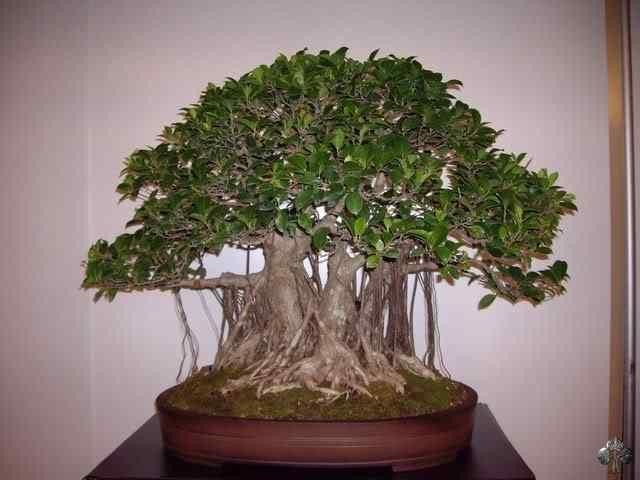 imgp6141 resize 20110317 1810870248 Bonsai: A arte de criar árvores em miniatura