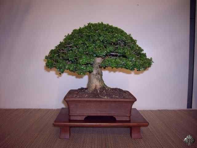 imgp6202 resize 20110317 1975435193 Bonsai: A arte de criar árvores em miniatura
