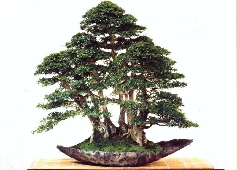 ind 501 1 Bonsai: A arte de criar árvores em miniatura