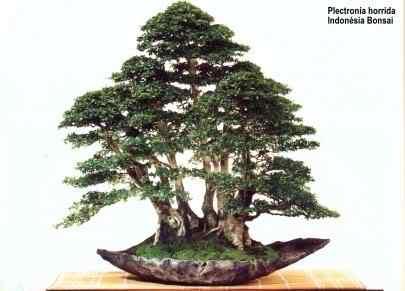 ind 501 Bonsai: A arte de criar árvores em miniatura