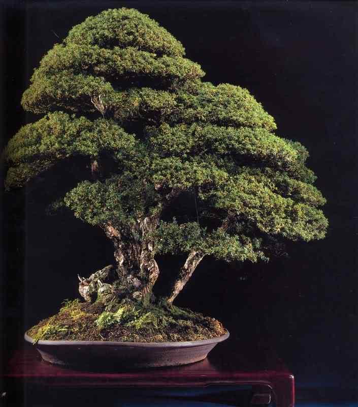jab 78 Bonsai: A arte de criar árvores em miniatura
