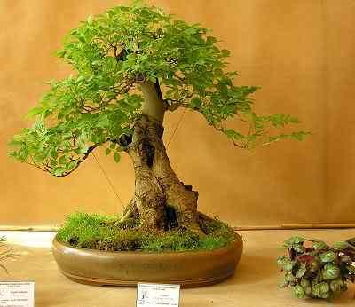 jesion Bonsai: A arte de criar árvores em miniatura