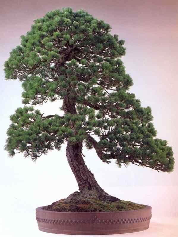 k murata 1 Bonsai: A arte de criar árvores em miniatura
