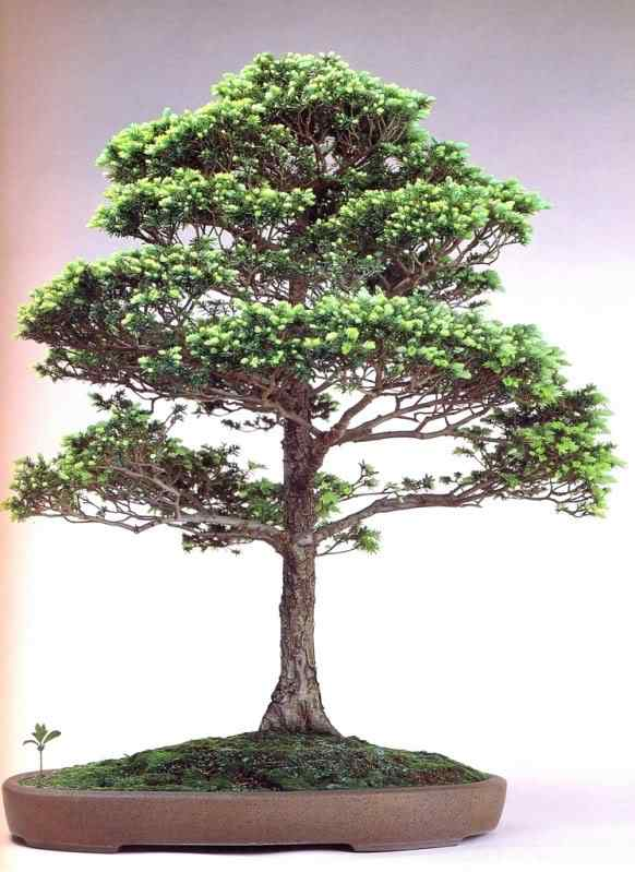 k murata 13 Bonsai: A arte de criar árvores em miniatura