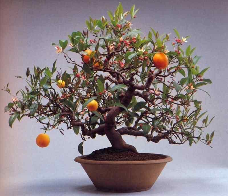 k murata 15 Bonsai: A arte de criar árvores em miniatura