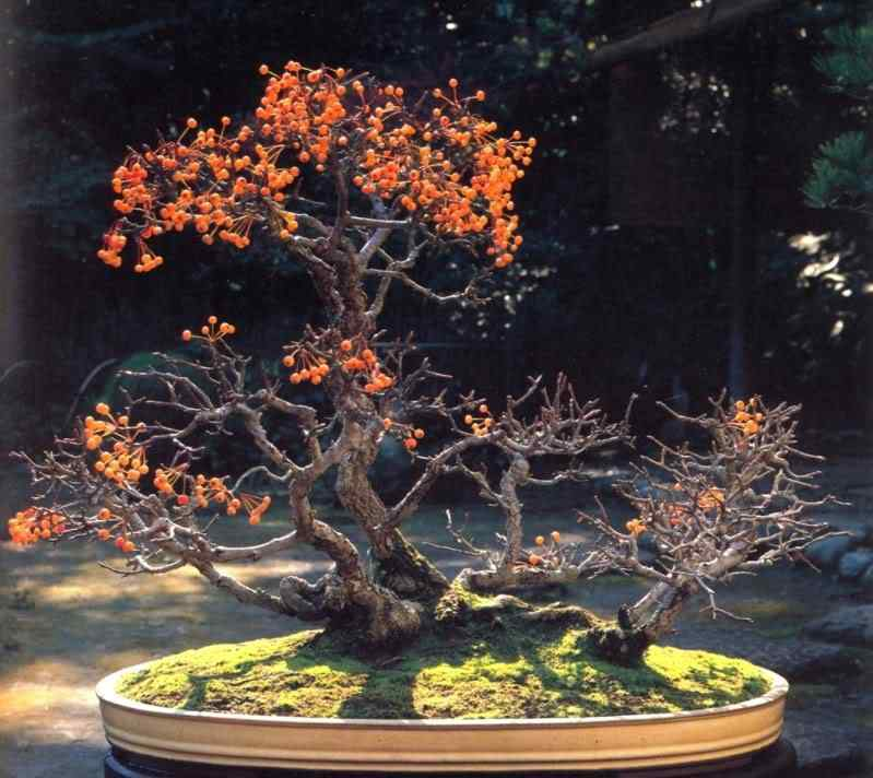 k murata 2401 Bonsai: A arte de criar árvores em miniatura