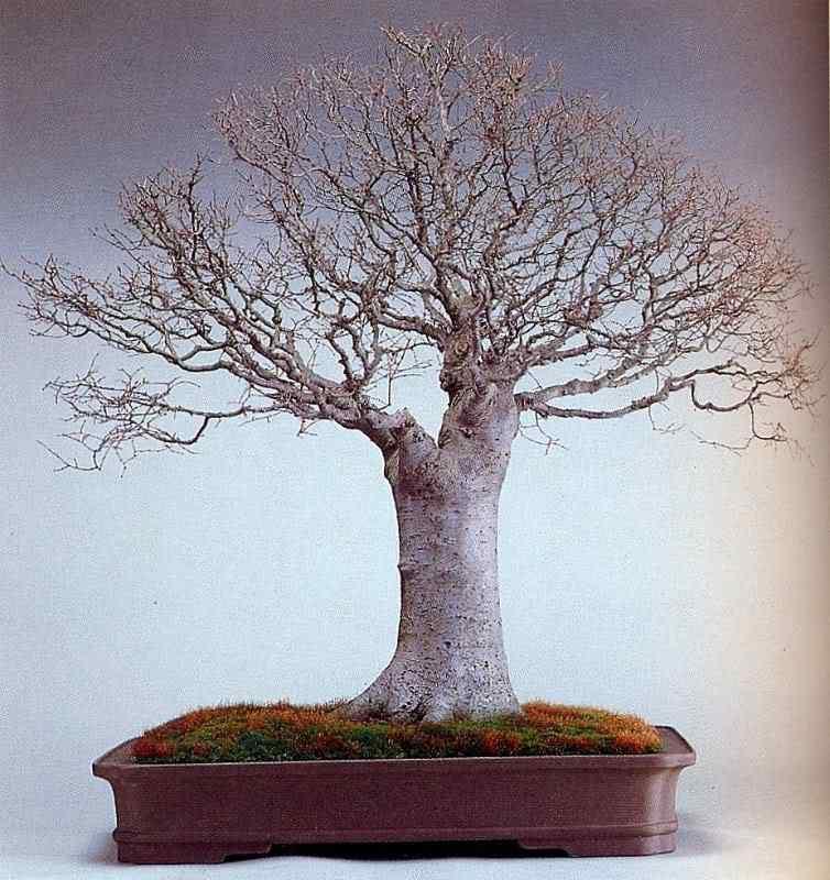 k murata 251 Bonsai: A arte de criar árvores em miniatura