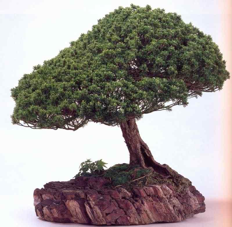 k murata 32 Bonsai: A arte de criar árvores em miniatura