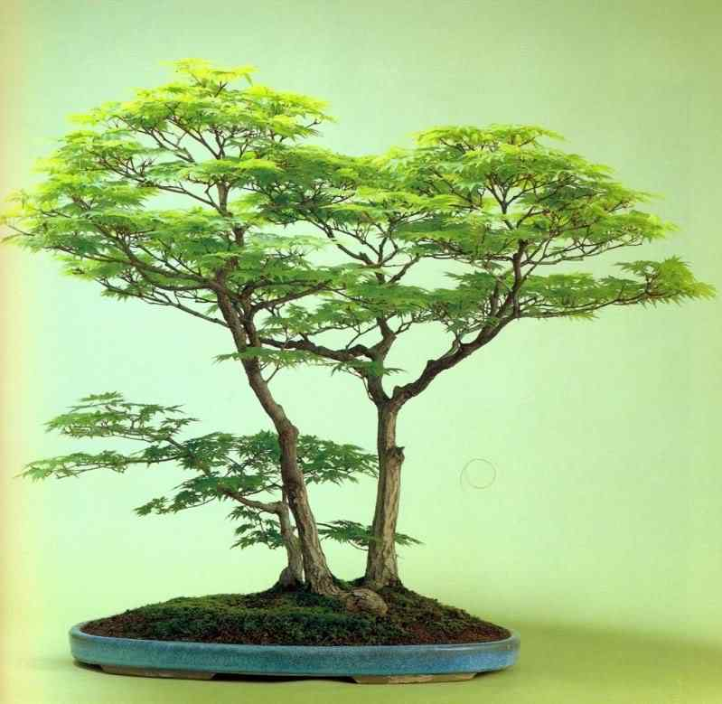 k murata Bonsai: A arte de criar árvores em miniatura