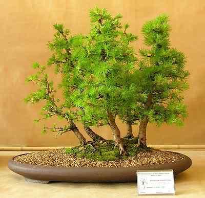 larixgroup Bonsai: A arte de criar árvores em miniatura