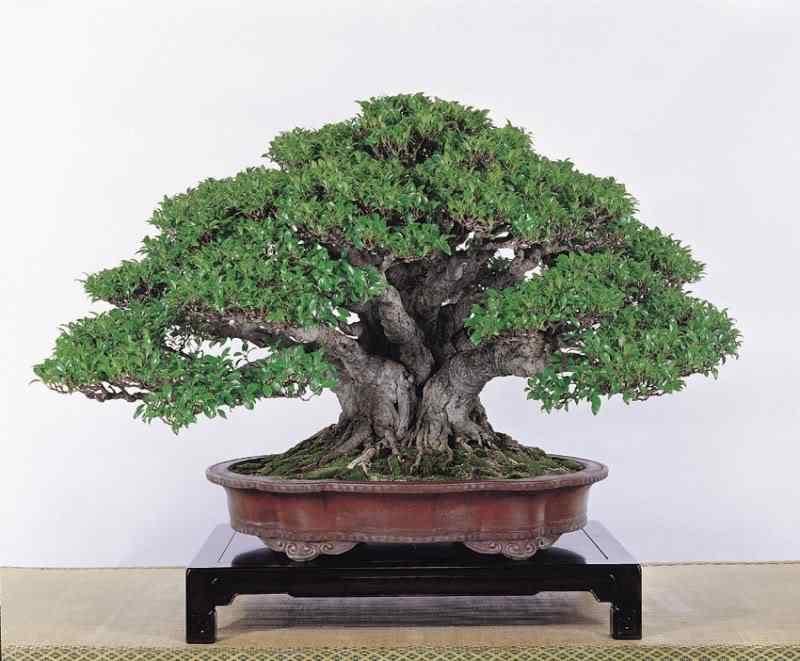lo mic10 Bonsai: A arte de criar árvores em miniatura