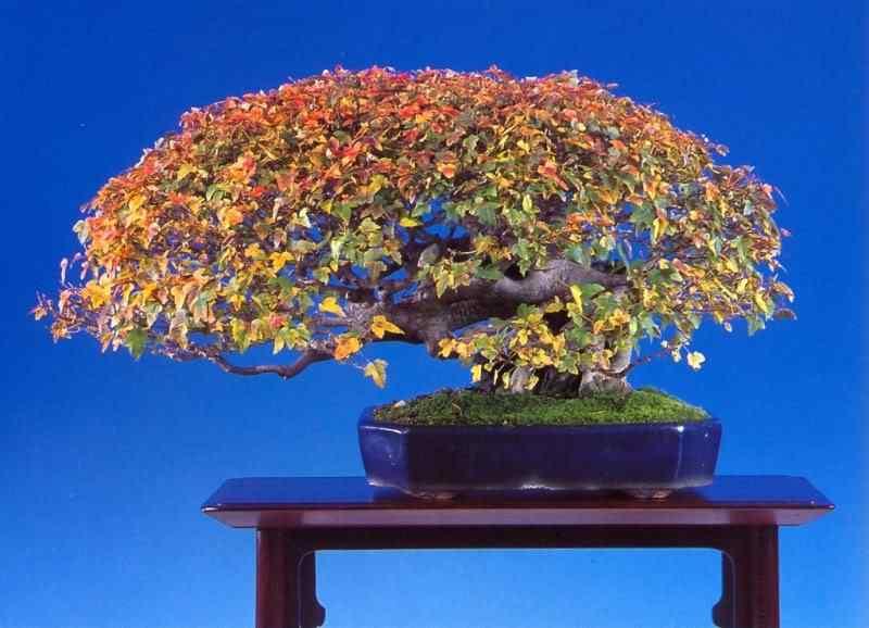 mitsuo 3 Bonsai: A arte de criar árvores em miniatura