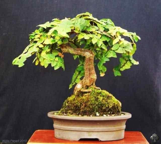 n 20101207230110 i 20110116 1414776070 Bonsai: A arte de criar árvores em miniatura