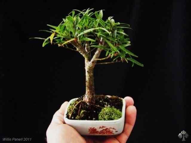 n 20110121181420 b 20110128 1719095042 Bonsai: A arte de criar árvores em miniatura