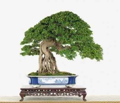 neegari Bonsai: A arte de criar árvores em miniatura