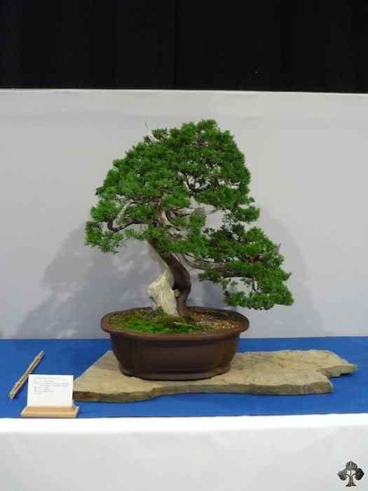 noelanders trophy xii 20110216 1023424540 Bonsai: A arte de criar árvores em miniatura