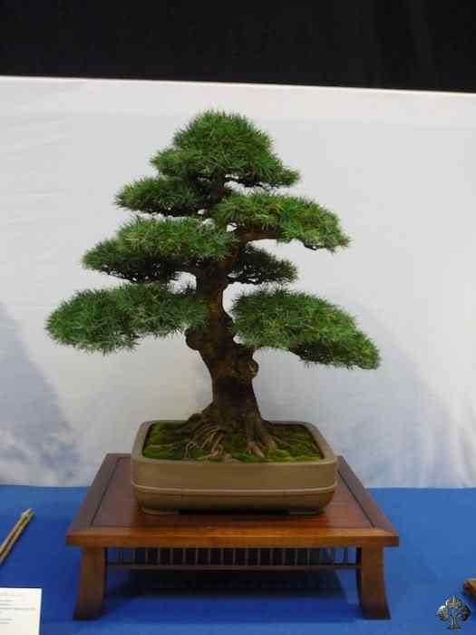 noelanders trophy xii 20110216 1031699805 Bonsai: A arte de criar árvores em miniatura