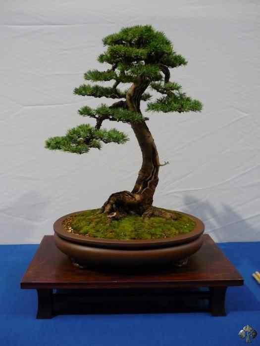 noelanders trophy xii 20110216 1054930503 Bonsai: A arte de criar árvores em miniatura