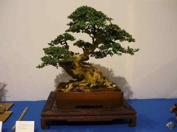 noelanders trophy xii 20110216 1292605729 Bonsai: A arte de criar árvores em miniatura