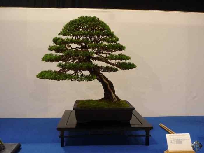 noelanders trophy xii 20110216 1994536328 Bonsai: A arte de criar árvores em miniatura