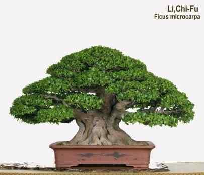p33 Bonsai: A arte de criar árvores em miniatura