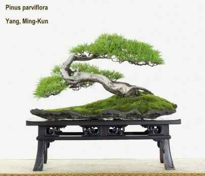 p641 Bonsai: A arte de criar árvores em miniatura