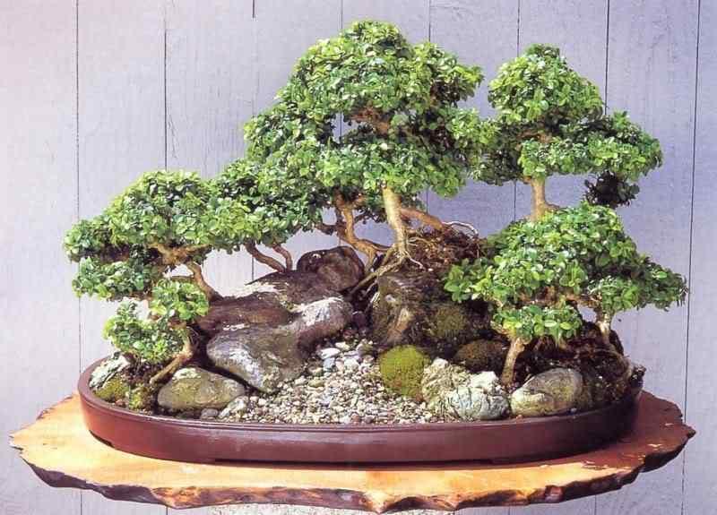 pa 41 Bonsai: A arte de criar árvores em miniatura