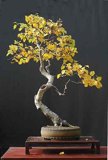 pall literati 006 Bonsai: A arte de criar árvores em miniatura