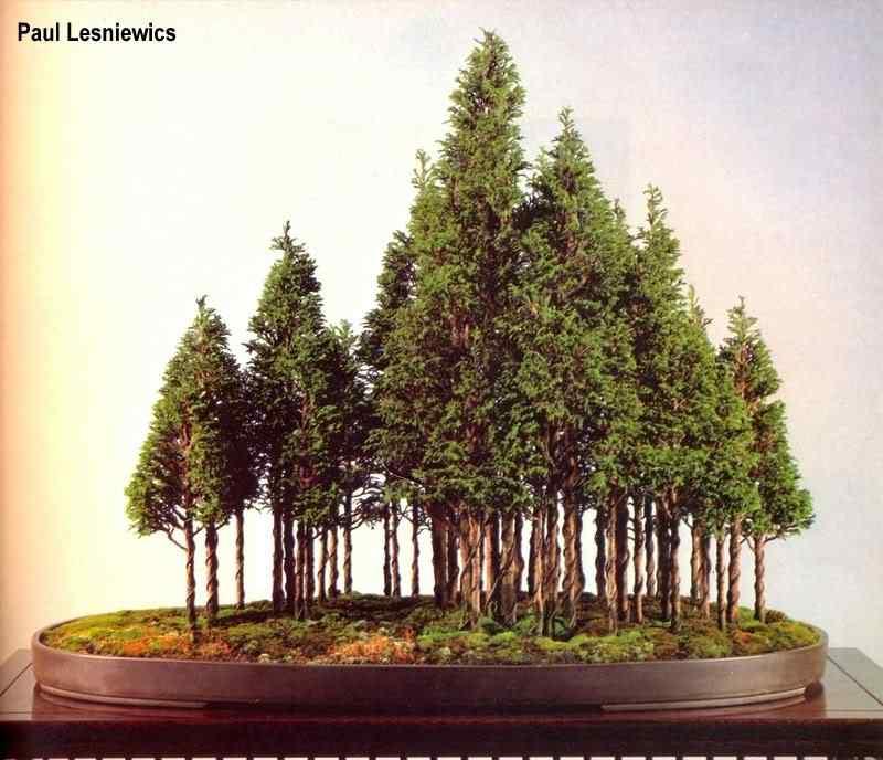paul l 5 Bonsai: A arte de criar árvores em miniatura