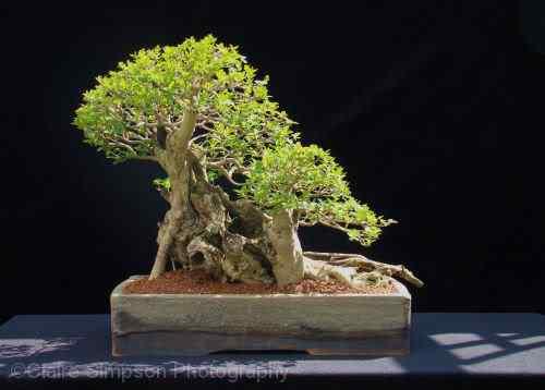 privetbonsai05103 Bonsai: A arte de criar árvores em miniatura