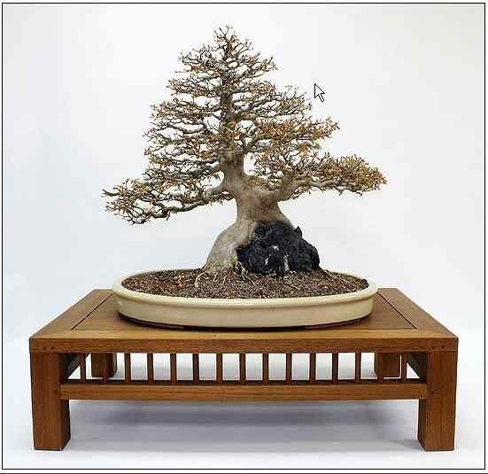 screenhunter 10 Bonsai: A arte de criar árvores em miniatura