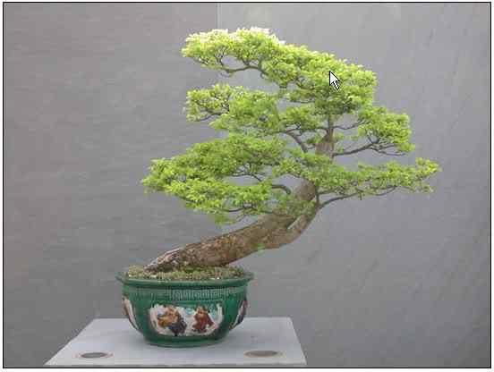 screenhunter 18 Bonsai: A arte de criar árvores em miniatura