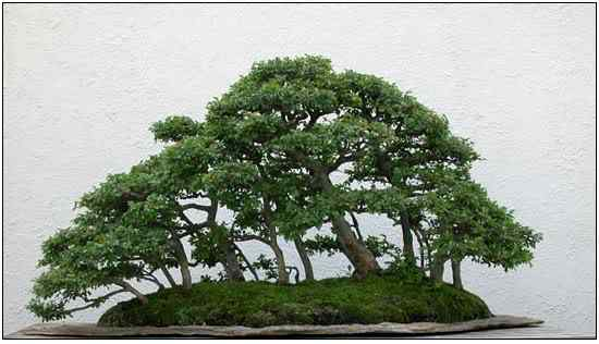 screenhunter 25 Bonsai: A arte de criar árvores em miniatura
