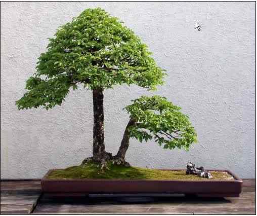 screenhunter 27 Bonsai: A arte de criar árvores em miniatura