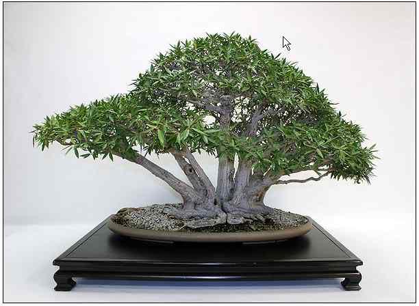 screenhunter 46 Bonsai: A arte de criar árvores em miniatura