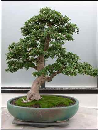 screenhunter 7 1 Bonsai: A arte de criar árvores em miniatura