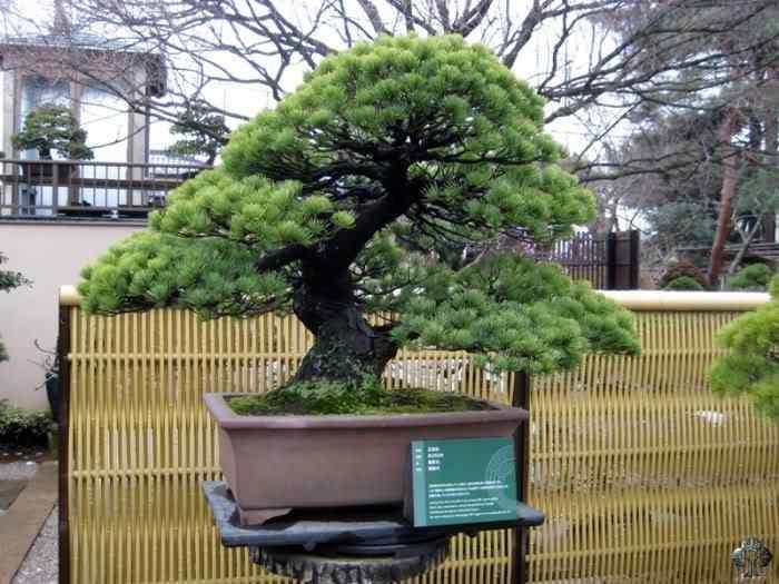 seikoen 20101031 1977467193 Bonsai: A arte de criar árvores em miniatura