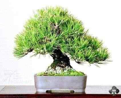 shohin bonsai gallery l 5 20101031 1862184715 Bonsai: A arte de criar árvores em miniatura