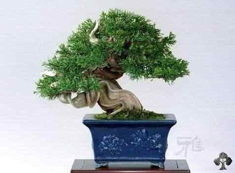 shohin bonsai gallery l 7 20101031 1837478532 Bonsai: A arte de criar árvores em miniatura