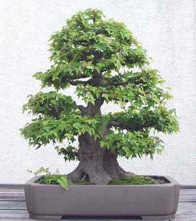 tridentintrainingsince1856fromMrIsozaki Bonsai: A arte de criar árvores em miniatura