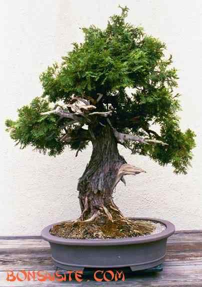 upright3b Bonsai: A arte de criar árvores em miniatura