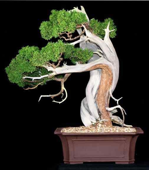 wbc califjuniper Bonsai: A arte de criar árvores em miniatura