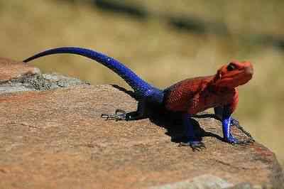 Agama Mwanzae1 1 50 seres inacreditavelmente azuis