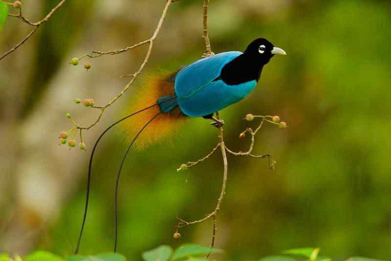 Blue Bird of paradise 50 seres inacreditavelmente azuis
