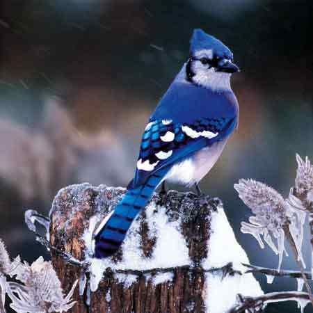 Blue Jay 50 seres inacreditavelmente azuis