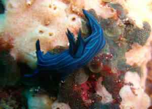 Endemic Blue Nudibranch 50 seres inacreditavelmente azuis