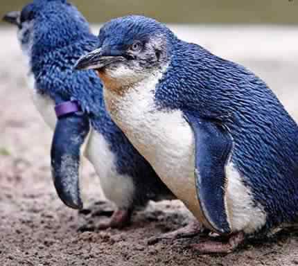 Fairy penguin 50 seres inacreditavelmente azuis